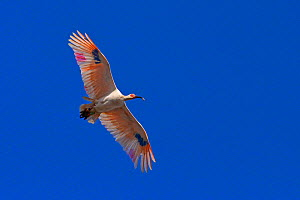 Crested ibis (Nipponia nippon) with bird rings in flight, Hokuru, Japan.  -  Aflo