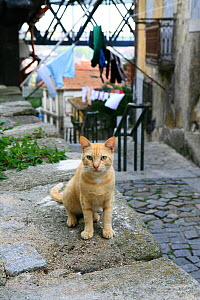 Ginger tabby cat sitting on wall in narrow alley with laundry hanging on lines in the background.  -  Aflo