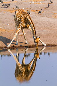 Southern giraffe (Giraffa camelopardalis), drinking at a water point with guineafowl behind, Etosha National Park, Namibia - Denis-Huot