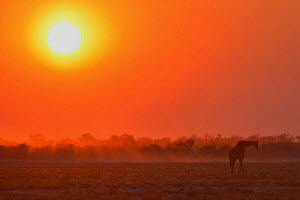 Giraffe (Giraffa camelopardalis) silhouetted with sun low in the sky, Etosha National Park, Namibia, June.  -  Lou Coetzer