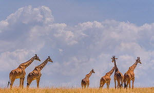 Small herd of Giraffes (Giraffa camelopardalis) against cloudy sky, Chobe River, Northern Botswana.  -  Lou Coetzer
