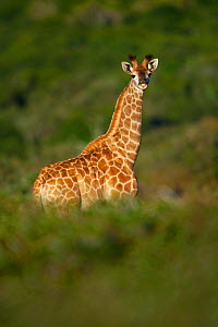 Young giraffe (Giraffa camelopardalis) standing in early morning light. Kariega Game Reserve, Eastern Cape, South Africa.  -  Neil Aldridge