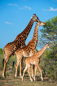 Giraffe (Giraffa camelopardalis) family, Marakele Private Reserve, Waterberg Biosphere Reserve, Limpopo Province, South Africa, November.  -  Pete Oxford