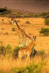 Giraffe (Giraffa camelopardalis) adult and young standing in opposite directions. Itala Game Reserve, Kwa-Zulu Natal, South Africa. - Richard Du Toit