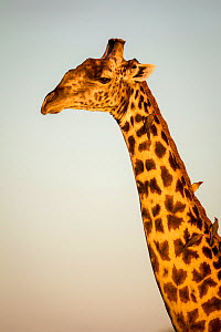 Rhodesian / Thornicroft giraffe (Giraffa camelopardalis thornicrofti) portrait, with Red-billed oxpeckers (Buphagus erythrorhynchus) on neck, South Luangwa National Park, Zambia, April.  -  Will Burrard-Lucas
