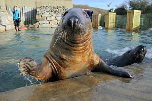 Blind adult male Grey seal (Halichoerus grypus) 'Marlin' waving a flipper at the edge of a convalescence pool where he is a long-term resident, Cornish Seal Sanctuary, Gweek, Cornwall, UK, January. Mo...  -  Nick Upton