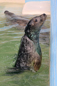 Rescued Grey seal pup (Halichoerus grypus) 'Iron man' with severe injuries from entanglement in a fishing net, gradually healing in a convalescence pool where he was kept until strong enough to be rel...  -  Nick Upton