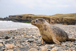 Rescued Grey seal pup (Halichoerus grypus) on a beach looking out to sea on release day, after recovering from its injuries through treatment and rehabilitation at the Cornish Seal Sanctuary, North Co...  -  Nick Upton