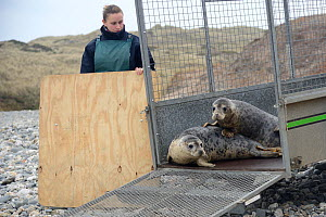 Jenny Lewis watching rescued Grey seal pups (Halichoerus grypus) peering from a trailer on a beach on release day, after recovering from their injuries through treatment and rehabilitation at the Corn... - Nick Upton