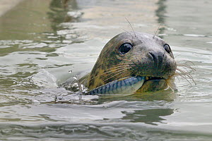 Rescued Grey seal pup (Halichoerus grypus) feeding on line-caught Mackerel in an isolated nursery pool where it will be kept until strong enough to join other pups and then be released back to the sea...  -  Nick Upton