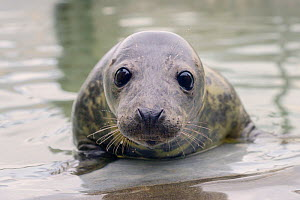 Rescued Grey seal pup (Halichoerus grypus) in an isolated nursery pool where it will be kept until strong enough to join other pups and then be released back to the sea, Cornish Seal Sanctuary, Gweek,...  -  Nick Upton