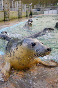 Rescued Grey seal pup (Halichoerus grypus) at feeding time in a convalescence pool where it will be kept until strong enough to be released back to the sea, Cornish Seal Sanctuary, Gweek, Cornwall, UK...  -  Nick Upton