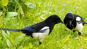 Two Eurasian magpies (Pica pica) feeding, Birmingham, England, UK, May.  -  Steve Downer