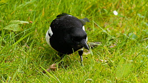 Eurasian magpie (Pica pica) feeding, Birmingham, England, UK, May.  -  Steve Downer
