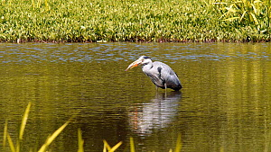 Grey heron (Ardea cinerea) swallowing a large fish, Birmingham, England, UK, June.  -  Steve Downer