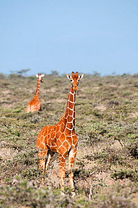 Reticulated Giraffe (Giraffa camelopardalis reticulata) pair stand in shrubland. Laikipia, Kenya. February. - Mark Jones