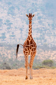 Reticulated Giraffe (Giraffa camelopardalis reticulata) standing in shrubland. Laikipia, Kenya. March. - Mark Jones
