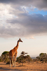 Reticulated Giraffe (Giraffa camelopardalis reticulata) stands on plains. Laikipia, Kenya. February. - Mark Jones
