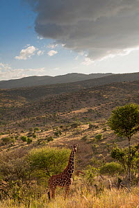 Reticulated Giraffe (Giraffa camelopardalis reticulata) on hillside with overcast sky. Laikipia, Kenya. February. - Mark Jones