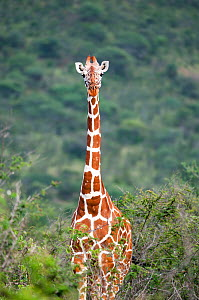 Portrait of Reticulated Giraffe (Giraffa camelopardalis reticulata) in shrubland. Laikipia, Kenya. February. - Mark Jones