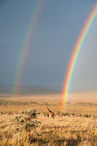 Reticulated Giraffe (Giraffa camelopardalis reticulata) in distance on savanna with double  rainbow at onset of rainy season. Laikipia, Kenya. February. - Mark Jones