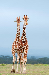 Reticulated Giraffe (Giraffa camelopardalis reticulata) pair stand together. Laikipia, Kenya. September. - Tui De Roy