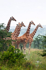 Reticulated Giraffe (Giraffa camelopardalis reticulata) herd stand together. Laikipia, Kenya. September. - Tui De Roy