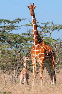 Reticulated Giraffe (Giraffa camelopardalis reticulata) young standing with mother, Laikipia, Kenya. September. - Tui De Roy