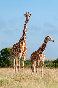 Reticulated Giraffe (Giraffa camelopardalis reticulata) young standing with mother, Laikipia, Kenya. October.  -  Tui De Roy