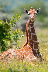 Young Reticulated Giraffe (Giraffa camelopardalis reticulata), sitting in sunlight. Laikipia, Kenya. September. - Tui De Roy