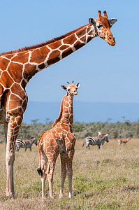 Reticulated Giraffe (Giraffa camelopardalis reticulata) young standing with mother. Laikipia, Kenya. September. - Tui De Roy
