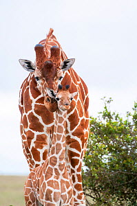 Reticulated Giraffe (Giraffa camelopardalis reticulata), young standing with mother, Laikipia, Kenya - Tui De Roy