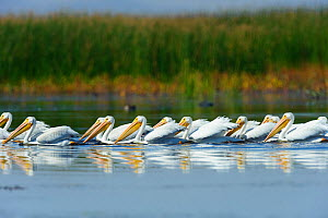 Flock of American white pelicans (Pelecanus erythrorhynchos) foraging in a wetland during fall migration. Malheur County, Oregon, USA. September. - Gerrit  Vyn