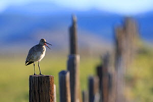 Adult Willet (Tringa semipalmata) giving alarm calls from a fence post. Sublette County, Wyoming, USA. June. - Gerrit  Vyn