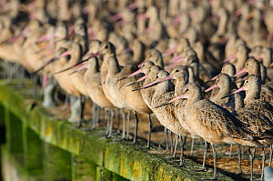 Flock of Marbled Godwits (Limosa fedoa) in basic (winter) plumage roosting on a dock. Pacific County, Washinton, USA. August. - Gerrit  Vyn