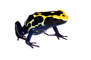 Dyeing Poison Frog (Dendrobates tinctorius) Petit Matoury, French Guiana  Meetyourneighbours.net project - MYN / JP Lawrence