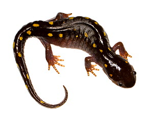 Spotted salamander (Ambystoma maculatum) Oxford, Mississippi, USA, March. Meetyourneighbours.net project  -  MYN / JP Lawrence