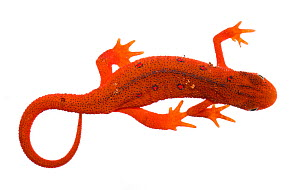 Terrestrial red eft stage of the Eastern Newt (Notophthalmus viridescens) Clark's Creek, Tennessee, USA, May. Meetyourneighbours.net project - MYN / JP Lawrence