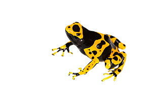 Yellow-banded poison dart frog (Dendrobates leucomelas) captive, occurs in South America. Meetyourneighbours.net project - MYN / JP Lawrence