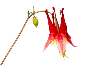 Eastern red columbine (Aquilegia canadensis) flower, Wolf Lake, Michigan, USA, May. Meetyourneighbours.net project  -  MYN / JP Lawrence