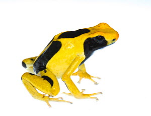 Dyeing poison frog (Dendrobates tinctorius) captive, occurs in Guyana, Suriname, Brazil, and French Guiana. Meetyourneighbours.net project - MYN / JP Lawrence