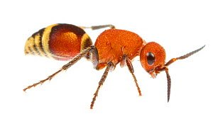 Velvet ant (Dasymutilla quadriguttata) Oxford, Mississippi, USA. Meetyourneighbours.net project - MYN / JP Lawrence
