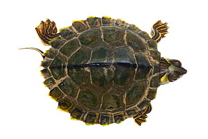 Pearl River map turtle (Graptemys pearlensis) the Bogue Chitto River, Mississippi, USA. July. Meetyourneighbours.net project  -  MYN / JP Lawrence
