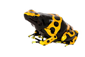 Bumblebee poison dart frog (Dendrobates leucomelas) captive occurs in South America. Meetyourneighbours.net project - MYN / JP Lawrence