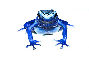 Blue poison dart frog (Dendrobates tinctorius azureus) portrait, captive. Meetyourneighbours.net project  -  MYN / JP Lawrence