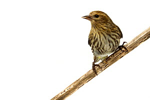 Pine siskin (Carduelis pinus) Oxford, Mississippi, USA, February. Meetyourneighbours.net project - MYN / JP Lawrence