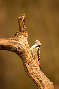 Middle spotted woodpecker (Leiopicus medius) perched on tree trunk, Hungary, December.  -  Ben  Hall