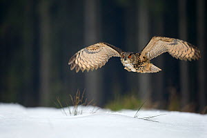 Eurasian eagle owl (Bubo bubo) flying low over snow covered grouns with trees in background, Czech Republic, February. Captive. - Ben  Hall
