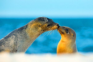 Galapagos sea lion (Zalophus wollebaeki) mother and young touching noses, Galapagos Islands, May - Ben  Hall
