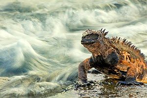 Marine iguana (Amblyrhynchus cristatus) on rock taken with slow shutter speed to show motion in the water, Galapagos islands, May.  -  Ben  Hall
